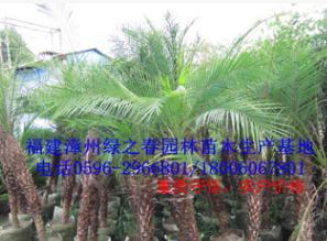 批发漳州美丽针葵假植苗高1-2米 福建软叶刺葵种植基地清场