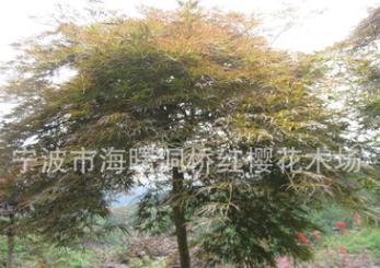 优质造型羽毛枫、工程、庭院、别墅绿化苗木