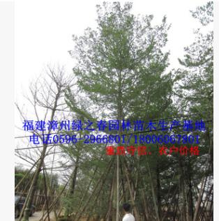 漳州小叶榄仁袋苗假植苗 福建胸径15-20公分 精品全冠层次A货