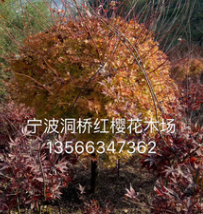 供应工程苗木,园林植物 格挡规格精品【槭枫】