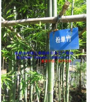 批发福建粉单竹地径3-10公分高2-8米 漳州基地农户价格清场出售