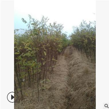 基地直销优质苦楝树批发苦楝树苗绿化苗木量大优惠精品特价