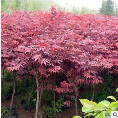 直销日本红枫树苗美国红枫中国红枫苗红枫小苗庭院盆栽花卉绿