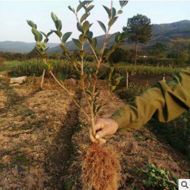 专业定制长林4号两年生优质高产油茶苗 油茶籽 油茶栽培