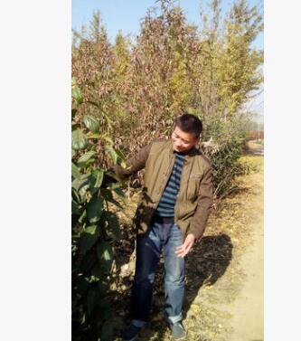 杜仲树批发植物 优良经济绿化树价格便宜优惠可做药材杜仲