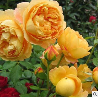 【菁农园艺】欧月黄金庆典藤本月季花苗 玫瑰盆栽绿植花卉大苗