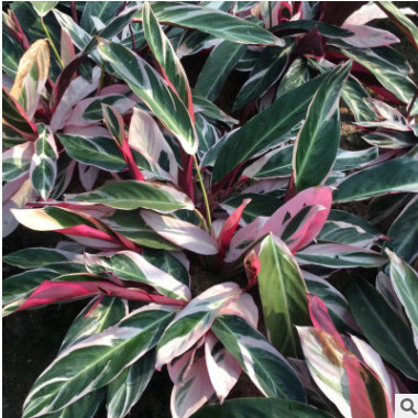 七彩竹芋花卉彩叶竹芋 园林工程绿化植物缤纷竹芋观叶盆栽