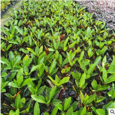 多规格绿化变叶木 常绿乔木变叶木 工程植物绿化树苗基地直销