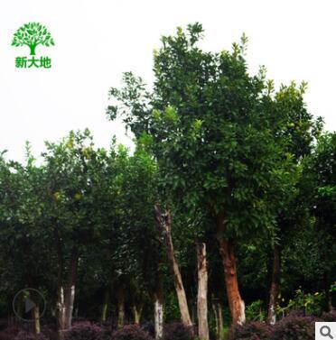 园林园艺景观绿化 香泡树 大柚子树 香泡 移栽柚子树