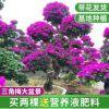 多色三角梅盆栽 园艺常绿性紫色勒杜鹃 红花三角梅大盆景植物批发