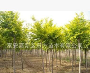 批发供应工程绿化苗复叶槭小苗 低价出售各种规格复叶槭