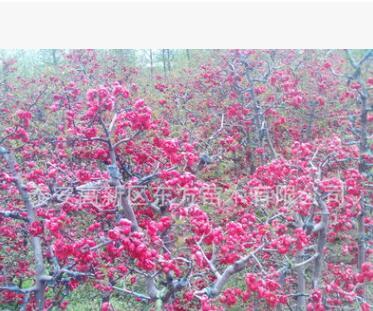 直销北美海棠 耐旱 成活率高 园林绿化用北美海棠