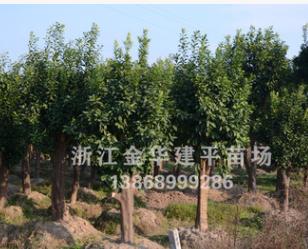 优质乔木 香泡树 柚子树 15-30公分