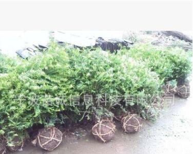 红豆杉盆景苗基地直销农户价供应