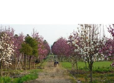批发销售树形优美玉兰树苗 多种园林绿化玉兰树 绿化工程花木