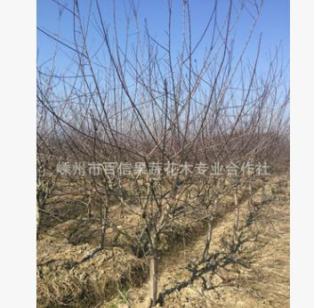 供应绿化苗木 北美海棠 地径(5-7公分)