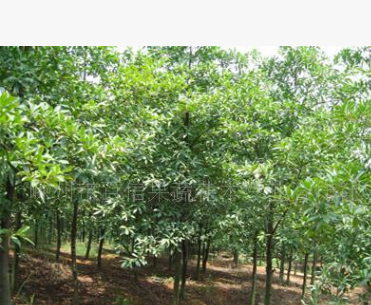 低价供应杜英 截杆 绿化苗木量大