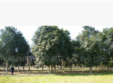 大量供应优质杜英树苗 绿化乔木全冠杜英 多种规格