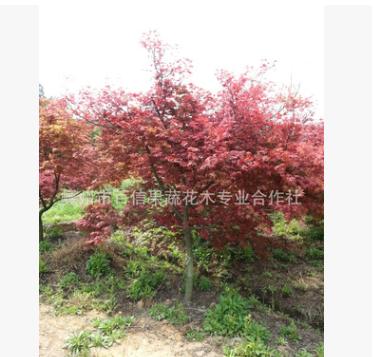 低价供应苗圃自产 正宗日本红枫(红舞姬)树苗 红枫大苗 小苗