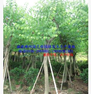 低价批发漳州红花紫荆羊蹄甲 福建胸径12-15公分洋紫荆 物美价廉