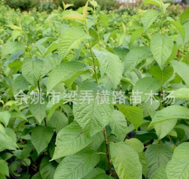 浙江四明山区良品樱桃树苗 地径0.8cm小果树苗