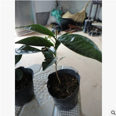 盆栽四季海棠茶花小苗 优质品种茶花 四季海棠茶花