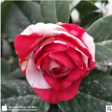 嫁接稀有盆栽 巨大花型山茶花 吉普赛女郎茶花