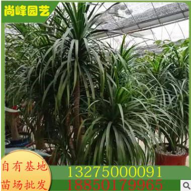 龙血树 为室内装饰优良净化空气观叶绿色植物 规格齐全 物美价廉