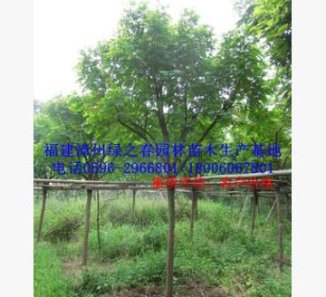 漳州黄花槐袋苗 福建基地胸径12-20公分黄槐 A货冠幅优美