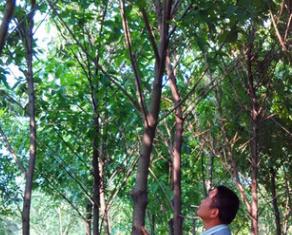 四川重庆湖南胸径8-10公分大叶榕 福建黄葛树袋苗便宜清场出售