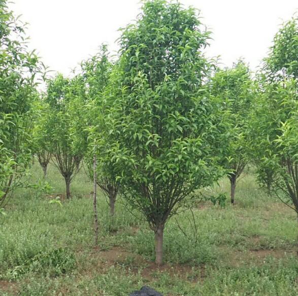 泰安观赏桃树基地出售1-15公分碧桃 批发品种齐全碧桃