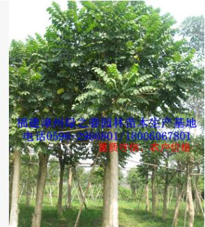 漳州火焰木袋苗假植苗 福建基地胸径15-20公分火焰树 全冠精品