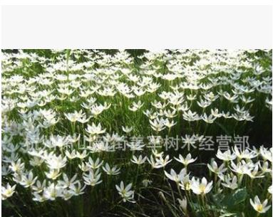 葱兰 基地直销 白花 韭兰 品种齐全 量大优惠