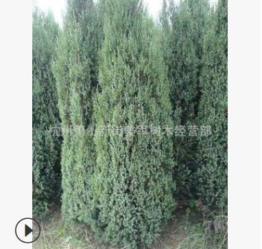 桧柏 大量供应 基地直销 龙柏树 各种规格 品种齐全