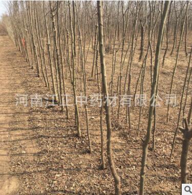 基地批发皂角树 大刺皂角树 易成活皂角树 绿化苗木