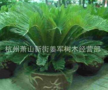 福建 铁树 苏铁 基地直销 各种规格 品种齐全 量大优惠