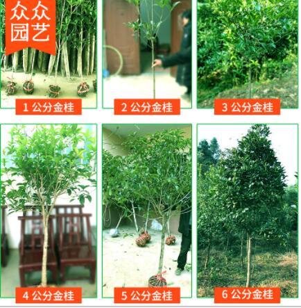 基地直供高杆桂花树1-7公分金桂丹桂八月桂 耐寒四季长青园林绿化