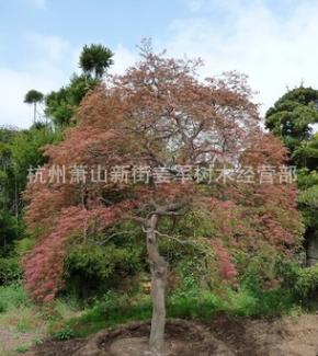 羽毛枫 基地直销 大量供应 红枫 各种规格 适用于别墅庭院