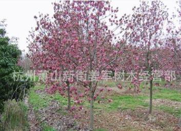 红玉兰 工程设计 基地直销 紫玉兰 各种规格 品种齐全