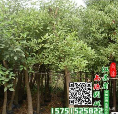 基地直销 供应大量优质绿化苗木刺桐
