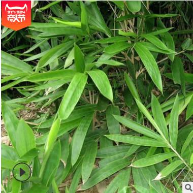 产地货源精品毛竹 庭院绿篱绿化竹子苗 高2米楠竹现货品种齐全