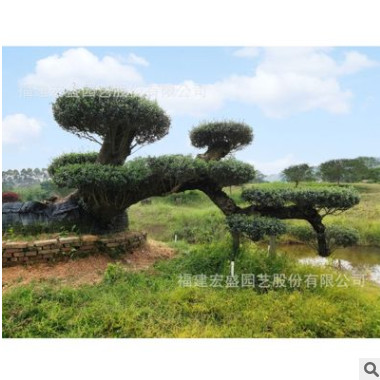 油橄榄名贵苗木批发景观树木犀科别墅造景庭院福建宏盛园艺基地