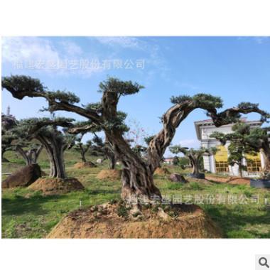 橄榄树别墅名贵树木犀科绿化庭院造景观树基地批发漳州宏盛园艺