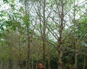 低价批发漳州大叶榕 江西浙江福建广东胸径12-15公分黄葛树