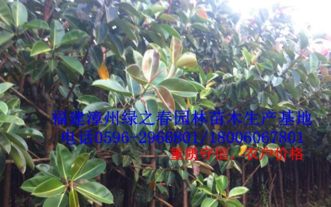 福建漳州直销橡皮树胸径10-15公分印度橡胶榕 橡皮榕便宜清场出售