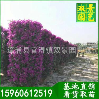 柱型三角梅价格,四季开花花卉,三角梅柱