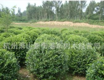 水蜡球 灌木 各种规格 基地直销 海桐球 品种齐全