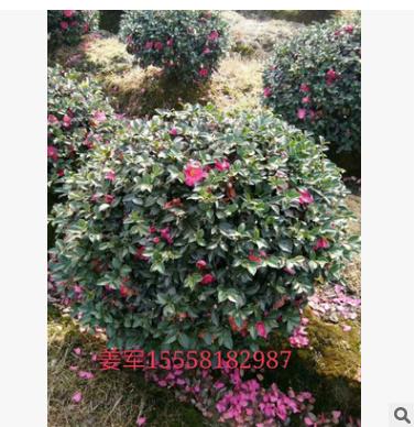 茶梅球 精品球类 基地直销 各种规格 品种齐全 量大优惠