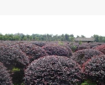红花继木球 各种规格 品种齐全 量大优惠 红叶石楠球