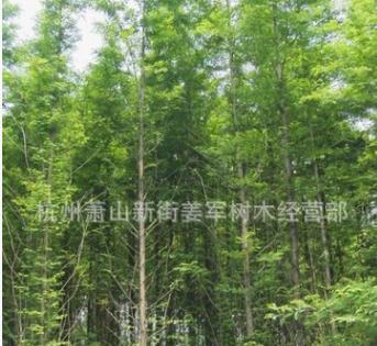 水杉 基地直销 批发价格 池杉 落羽杉 大量供应 各种规格